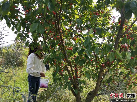 贵州贞丰:樱桃抢鲜上市 体验式采摘助推乡村旅游发展