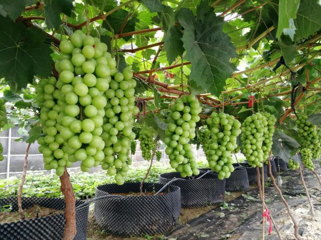 三润集团百万斤阳光玫瑰葡萄成熟,线上+线下全渠道送上葡萄盛宴